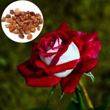 100pcs/Bag Rare Red&White Osiria Ruby Rose Flower Seeds Home Garden Plant Decor