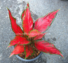 "Beautiful Aglaonema ""Super Red"" Perfect Form&Good Color +Free Phyto Don't miss@@"