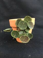Lepanthes tentaculata Mini Species Orchid Import Mounted
