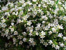 Bacopa Seeds Snowtopia 25 Multi Pelleted Seeds