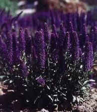 50+ VERONICA PORPHYRIANA PURPLE PERENNIAL FLOWER SEEDS