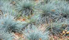 Festuca glauca (Blue Fescue) - Versatile Fast Growing Grass - 50 seeds