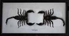 Real Giant Scorpion Entomology Insect Taxidermy Wood Framed For Collectibles