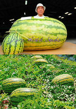 GIANT WATERMELON 250++ LBS! 'Iwanaga Giant' RARE Japan cultivar melon SEEDS.