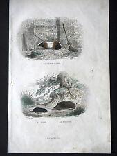 GRAVURE ANCIENNE 19e - LE COCHON D'INDE - LA TAUPE ET LE HERISSON
