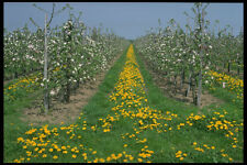 477033 Flowering Orchard With Dandelions Near Rijswijk Holland A4 Photo Print