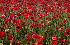 Pack Field Poppy Wild Flower Seeds Kings Country Garden Seed
