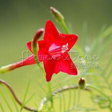 Hot Sale Creative DIY 100 Cypress Vine High germination Seeds Rich Scent TT413