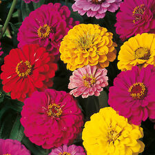 Flower seeds - Zinnia Dahlia Flowered Giant Mix