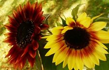 FIRECRACKER SUNFLOWER SEEDS / Explodes with Color - Pun Intended!!/ Eye Popping!