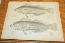 1860 Antique Print/FISH - PAINTED CHIROPSIS & SPECKLED CHIROPSIS