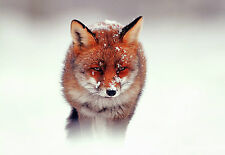 Framed Print - Wild Red Fox Standing in the Mist and Snow (Picture Poster Art)