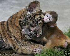 Tiger Cub and Monkey / 8 x 10 GLOSSY Photo Picture