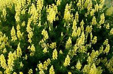 Lupinus arboreus Hybrids - Tree Lupin - 60 seeds - perennial