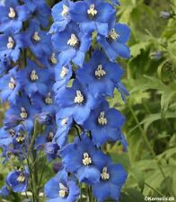 Delphinium Pacific Giants 'Blue Bird' - 50 Seeds - Hardy Perennial
