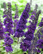 Black Butterfly Bush -A Buddleia davidii Black Knight Buterfly - Live Perennials