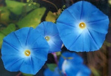 50 Morning Glory Heavenly Blue Seeds