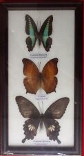 3 REAL BUTTERFLIES BUTTERFLY TAXIDERMY INSECT PICTURE FRAME EMIGRANT MORMON