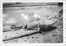 VIETNAM PHOTO PERIODE GUERRE D' INDOCHINE VERS 1950 / 1952 CROCODILE