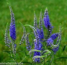 1000 Veronica Spicata Seeds Spiked speedwell Blue Cut Flower Herb Heirloom Fresh