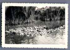 Vietnam, Les Canards  Vintage silver print.  Tirage argentique d'époque
