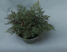 "SELAGINELLA ERYTHROPUS 'RUBY RED'  RED SPIKEMOSS, COOL FERN! SHIPPED IN 4"" POT"