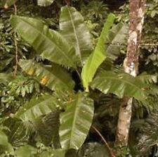 BANANA - Musa yunnanensis 10 seeds