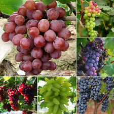 50X Fashion Mixed Grape Seeds Vitis Vinifera Sweet Fresh Fruit Bulk Garden Seeds