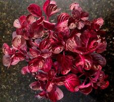 IRESINE HERBSTII 'CHICKEN GIZZARD','BLOOD LEAF' 3 PLANT COMBO + FREE SHIPPING