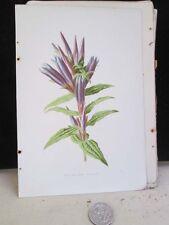 Vintage Print,SWALLOW WORT GENTIAN,Familiar Garden Flowers,Hulme