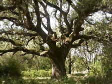Quercus ilex-holm ou chêne vert graines prêt à planter. 5 pour £ 1.20