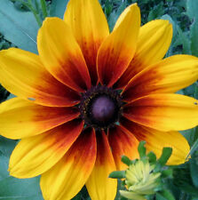 4000 GLORIOSA DAISY INDIAN SUMMER Rudbeckia Hirta Flower Seeds + Gift & CombS/H