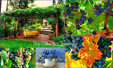 "SEEDS - Hardy Amur Grape ""Vitis Amurensis"" Siberian Climbing Grape Vine Zone 4!"