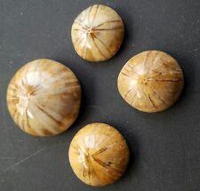 Fossilized  SEA URCHIN SAND DOLLAR JURASSIC AGE (1 piece per order)
