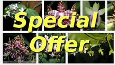 Special Offer - Choose 5 plants Seedling Phalaenopsis at GBP29.50 save   30%