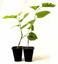 Dwarf Mulberry Tree - 2 Pack Great Fruit Stay Small Hardy Fresh Mature