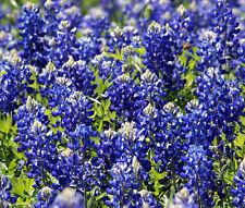 TEXAS BLUEBONNET Lupinus Texensis - 3,000 Bulk Seeds