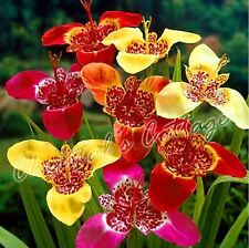 10 TIGRIDIA TIGER FLOWER MIX SPRING GARDENING BULBS GARDEN CORMS PERENNIALS