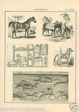 Onagre Cheval Arabe Mulet Syria Iraq Onager Arabia Horse GRAVURE OLD PRINT 1884
