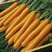 5,000 Carrot Seeds Tendersweet Tender sweet Carrots