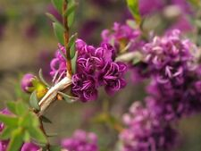Violet Honey-Myrtle Medium Shrub seed Superb Floral Display