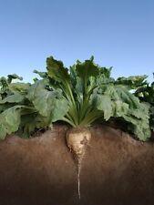 Sugar Beet Food Plot Seed 10 Lb  - 100,000 Seeds (Excellent Deer Food Plot)