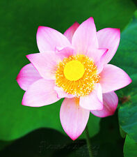 10 Seeds Pink Cute Lotus Seeds China Rare Fragrance Water Pond Plants