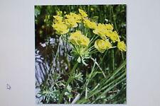 5 Samen Kreuzblättrige Wolfsmilch,Euphorbia lathyris,Wühlmausgift !,#203