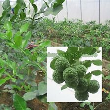 NEW KAFFIR LIME LEECH LIME SEEDS HERB FLOWER SEEDS FROM THAILAND.
