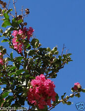 15 Seeds Lagerstroemia indica, Crape Myrtle, Deep Pink Rosy Southern Lilac Crepe