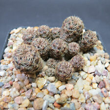 Sulcorebutia taratensis fa. minima HS 147, 5,0 cm große Pflanze (5625)