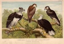 Sea Eagle Historia natural viejo impresión grabado Oliver Goldsmith mano de color de aves