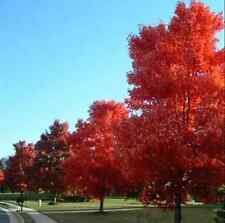 JAPANESE MAPLE TREE Acer Palmatum Red Maple Seeds New HH