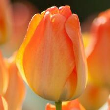 7 large best select bulbs Tulip orange Daydream, perennial plant flower